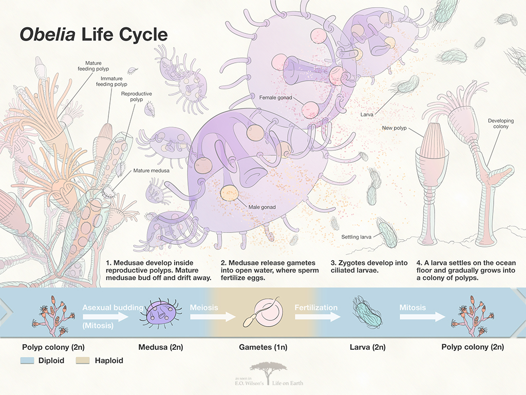 Obelia Life Cycle