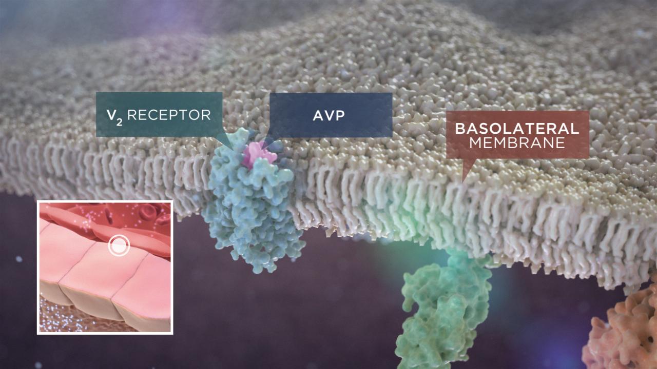 Aziz, Walid. Radius. Arginine Vasopressin and Hyponatremia