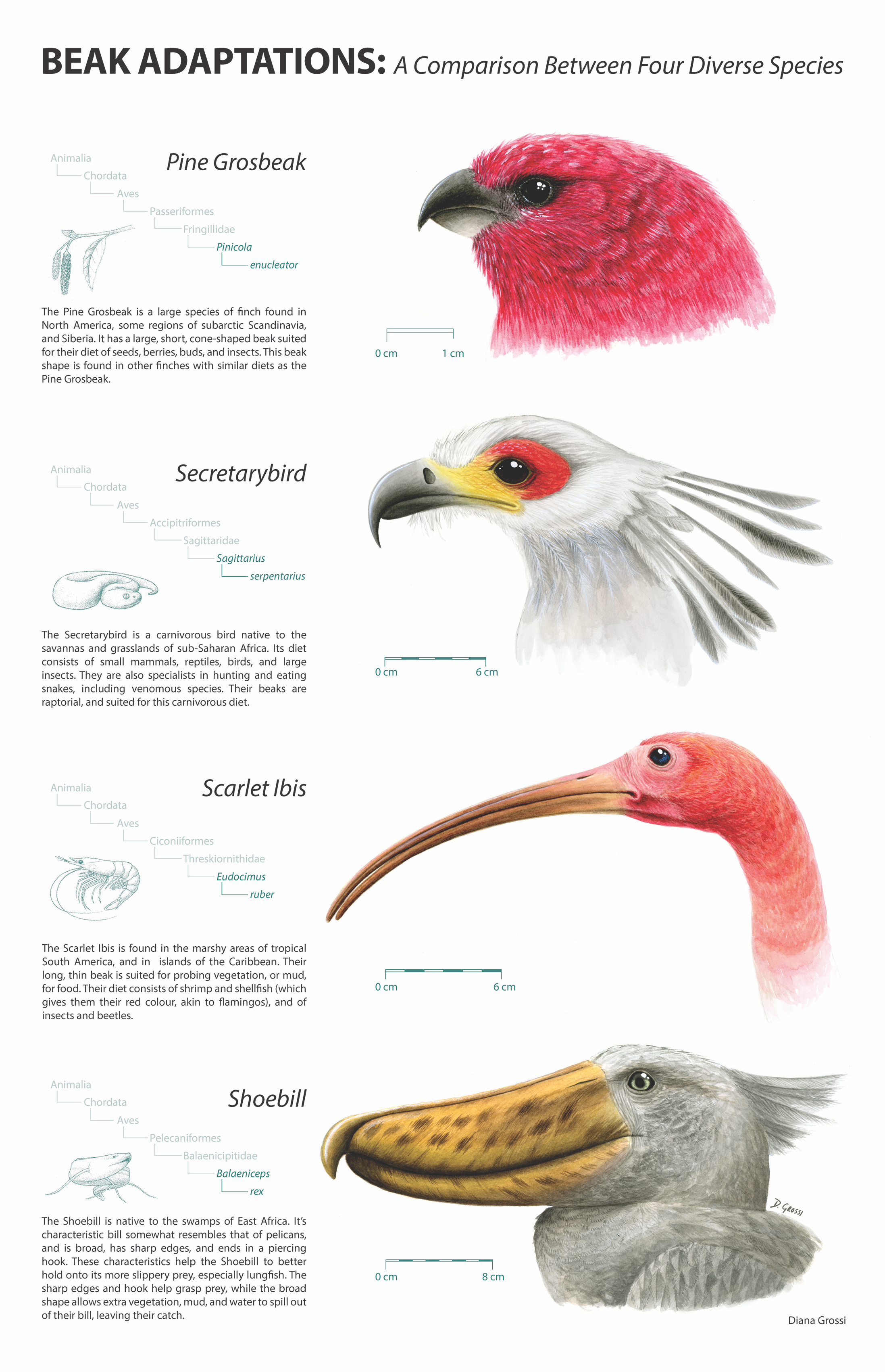 Beak Adaptations