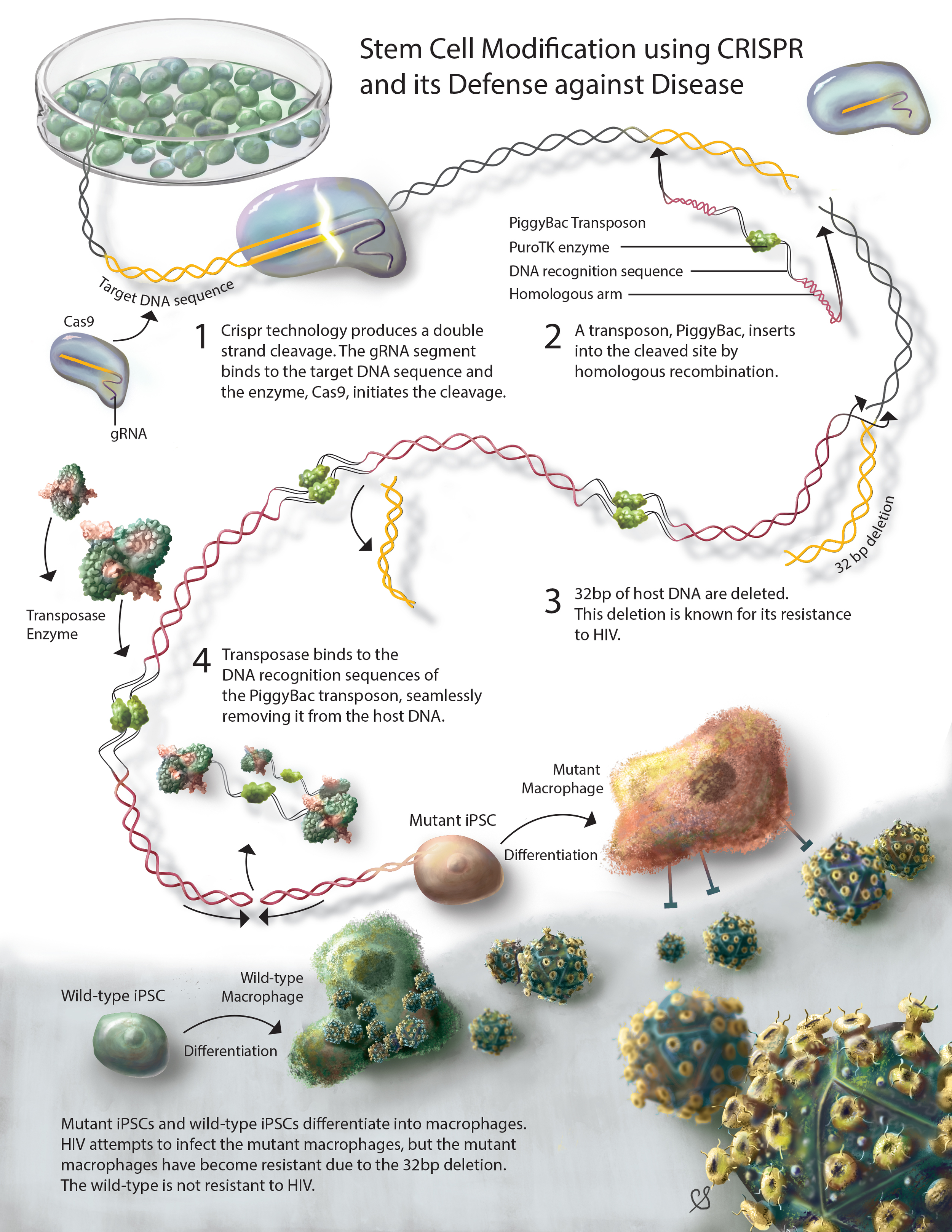Image of Stem cell modification using CRISPR and its defense against disease