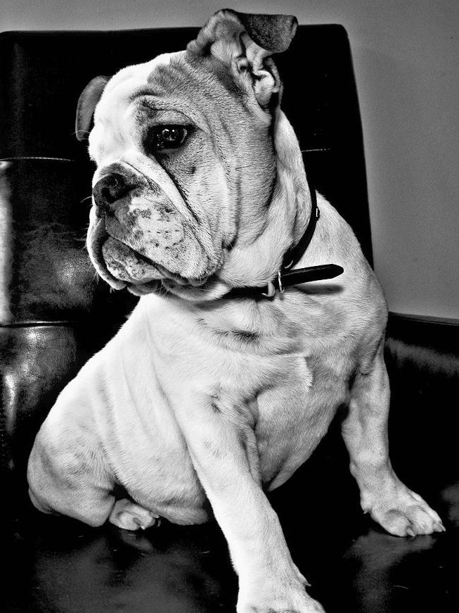 bulldog-in-chair.jpg