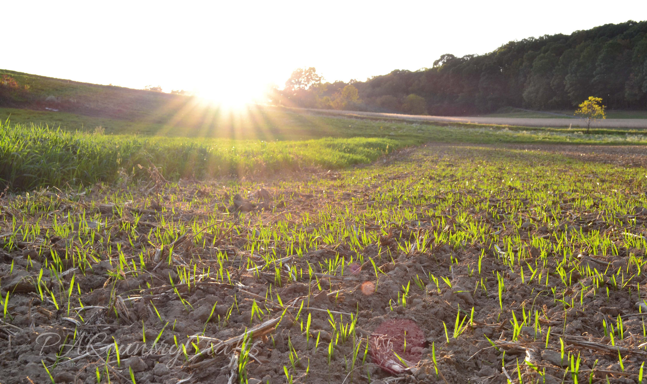 sunlight over oats sprouting