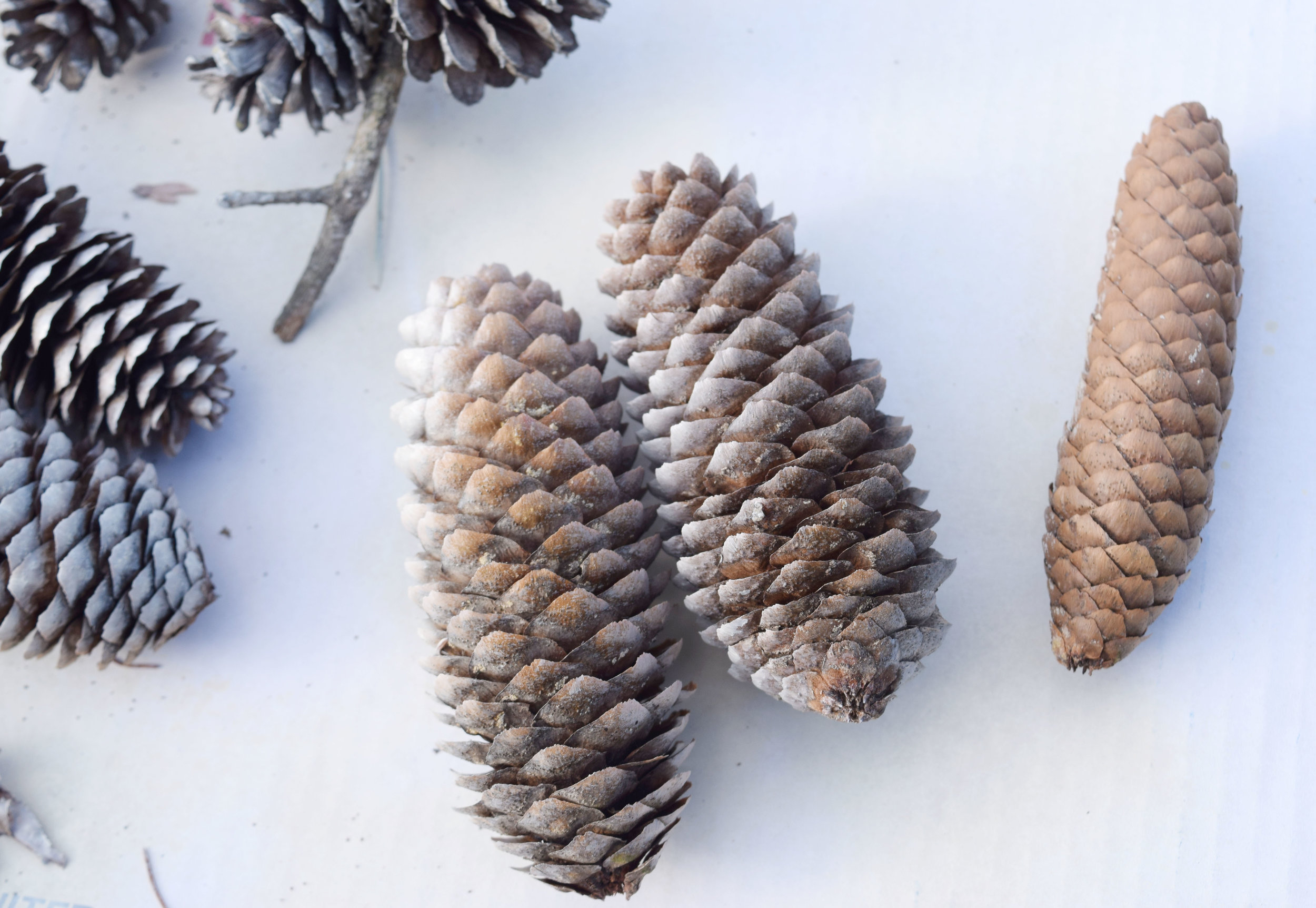 How to open pine cones