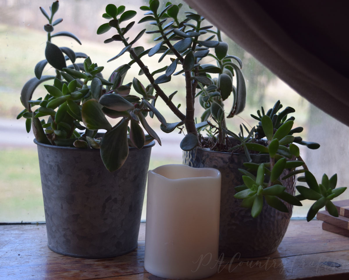 galvanized buckets with succulents
