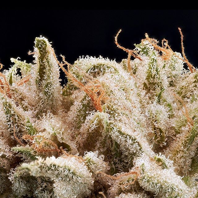 Blueberry Skunk is back! (Blueberry X Skunk #1) A cross of two classic and highly-regarded strains.Sweet berry flavors mixed with the pungent and earthy musk of Skunk #1. A beautifully balanced strain that can help with anxiety, stress and PTSD. Photo @weedwizardphoto . . #mavencannabis #blueberryskunk #macrophotography #macro #trichomes #hightimes #leafly #craftcannabis #maven_mvn #californiacannabis #weedporn #weedstagram #indica #weedculture #cannabisculture #cannabisphotography #instaweed #caligrowers #thc