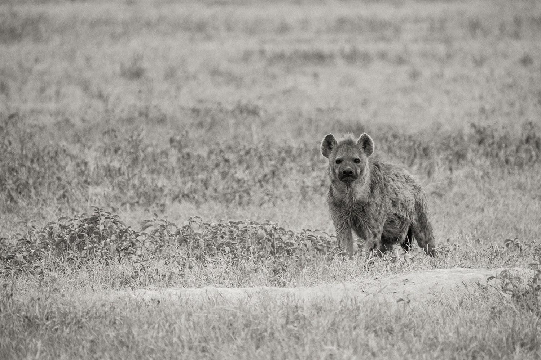 Tuepfelhyaene im Ngorongoro Krater