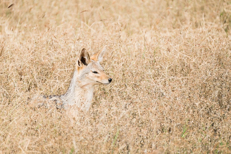 Schabrackenschakal im Ngorongoro Krater