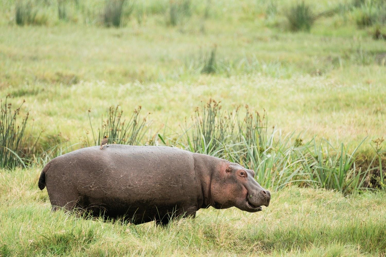 Nilpferd im Ngorongoro Krater