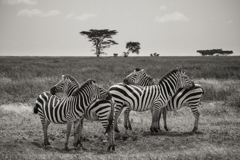 Steppenzebra Gruppe in der Serengeti