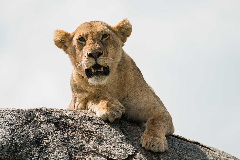 Löwin in der Serengeti