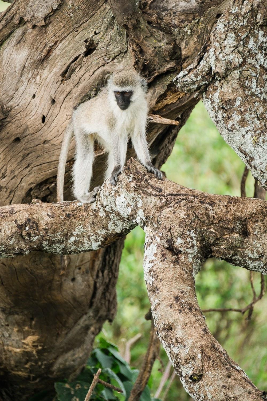 Suedliche Gruenmeerkatze in der Serengeti