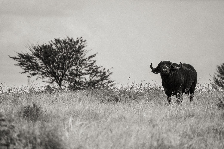 Schwarzbüffel