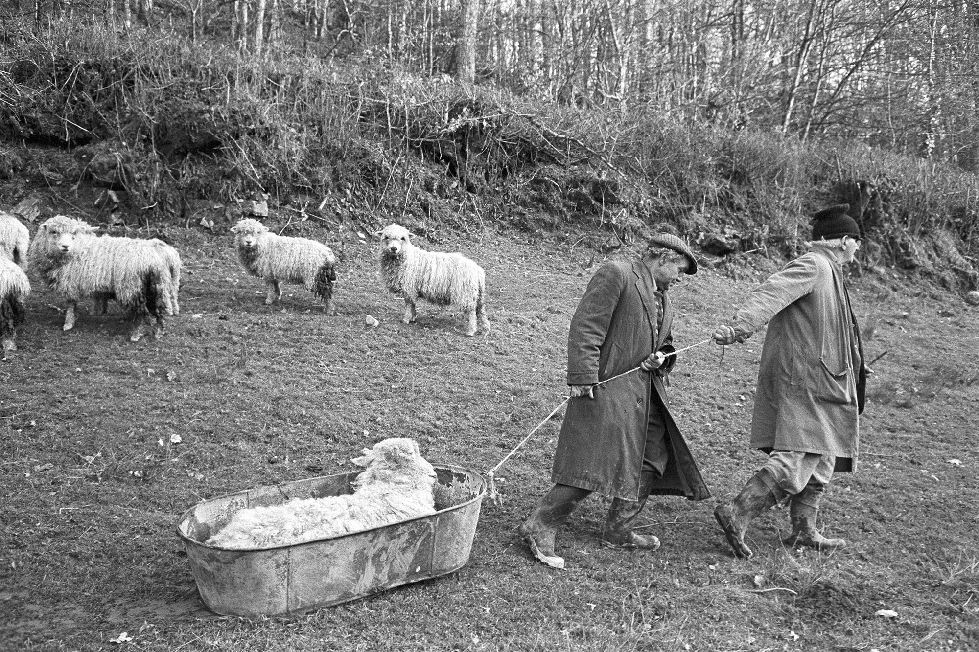 Archie Parkhouse & Ivor Brock dragging sick ram, Millhams, Dolton,1976