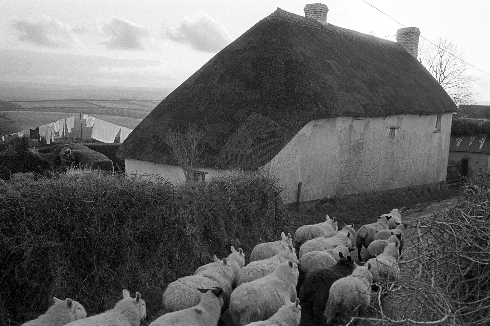 Sheep passing thatched house, Upcott, Dolton 1981
