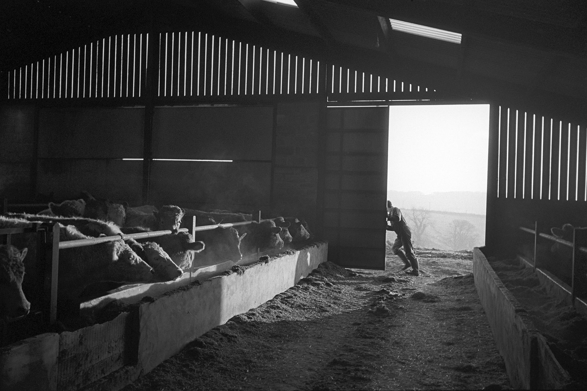 Store cattle, Parsonage Farm, Chulmleigh, 1989