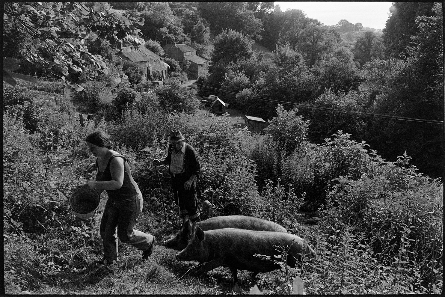 Farming practices and livestock, Feeding pigs - Fran Pickard & Archie Parkhouse Dolton, Millhams, August 1978.