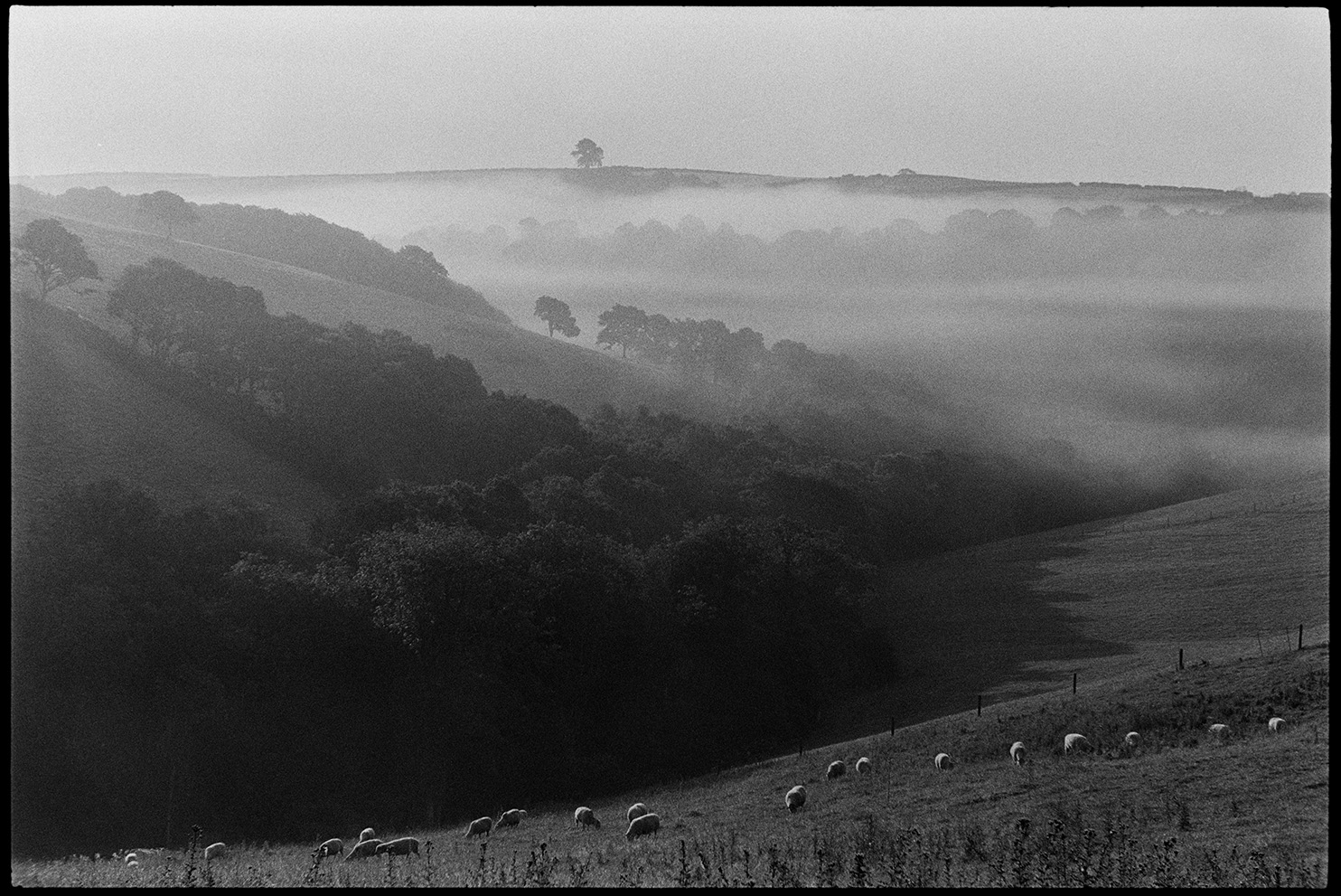 Misty landscape with sheep early morning, Ashreigney, Densham, September, 1981.