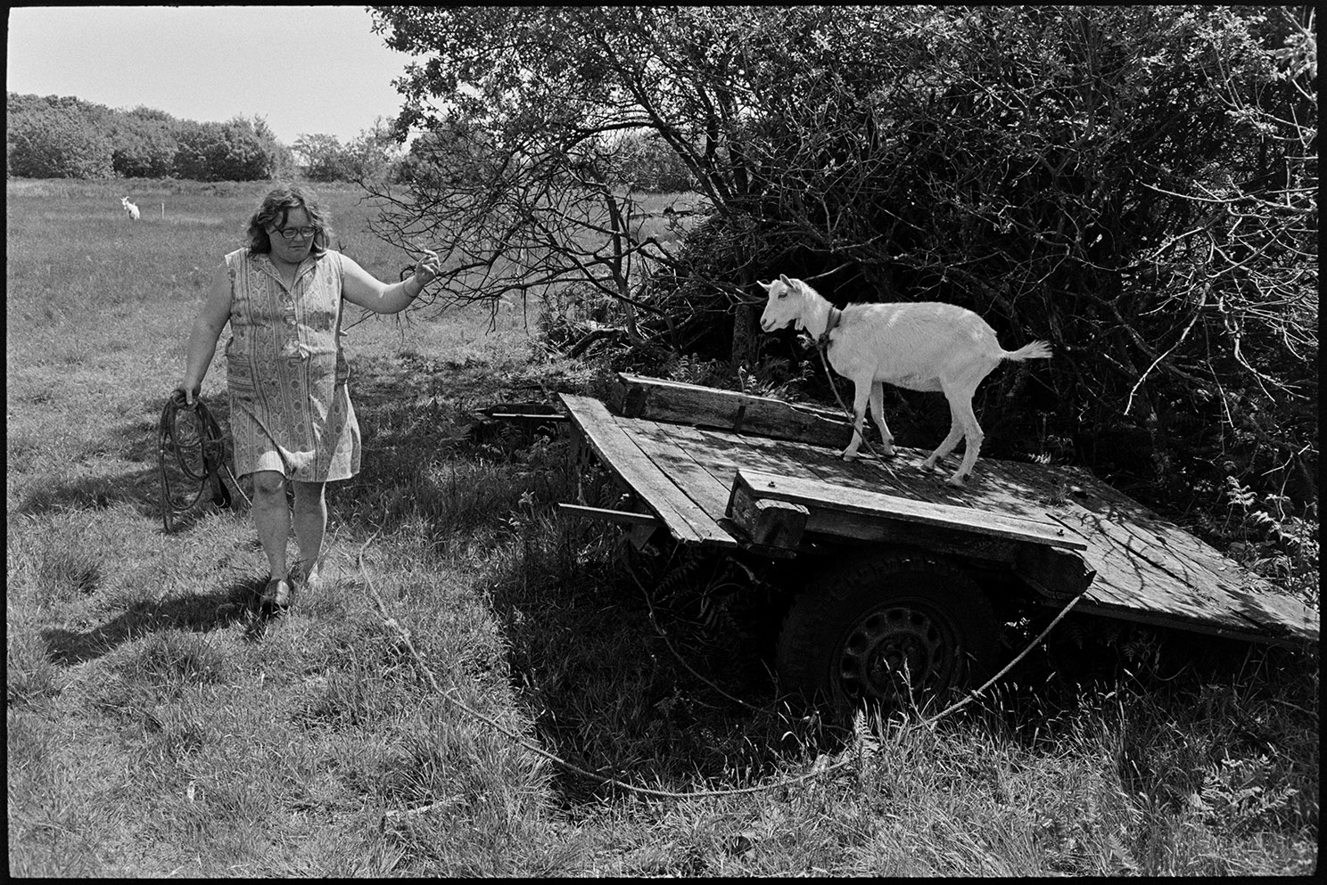 Farming practices and livestock, Olive Bennett tethering goats Beaford, Cupper's Piece, August 1987.