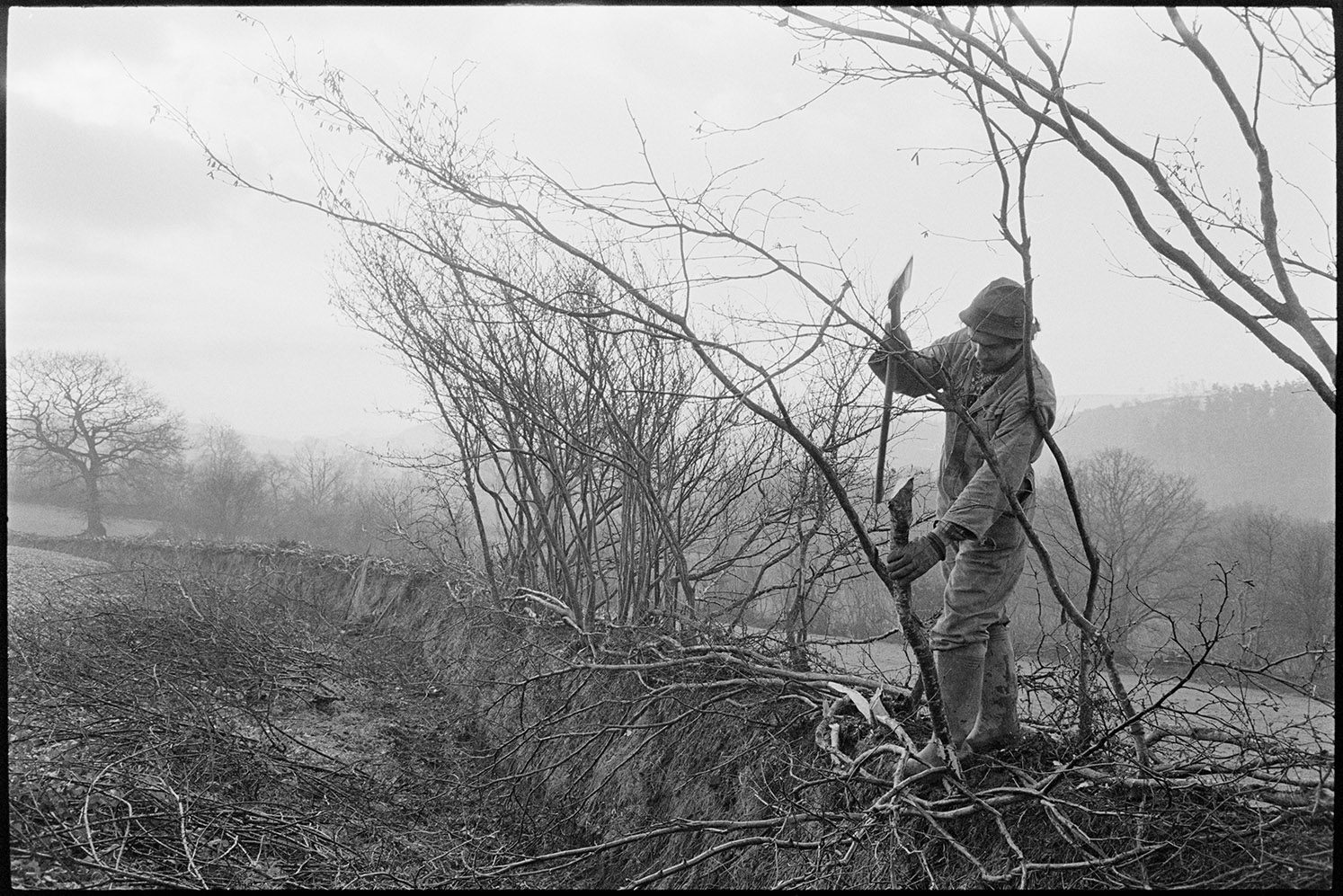 Hitting supporting sticks into hedge with axe head, Dolton, Lower Langham, April, 1980.