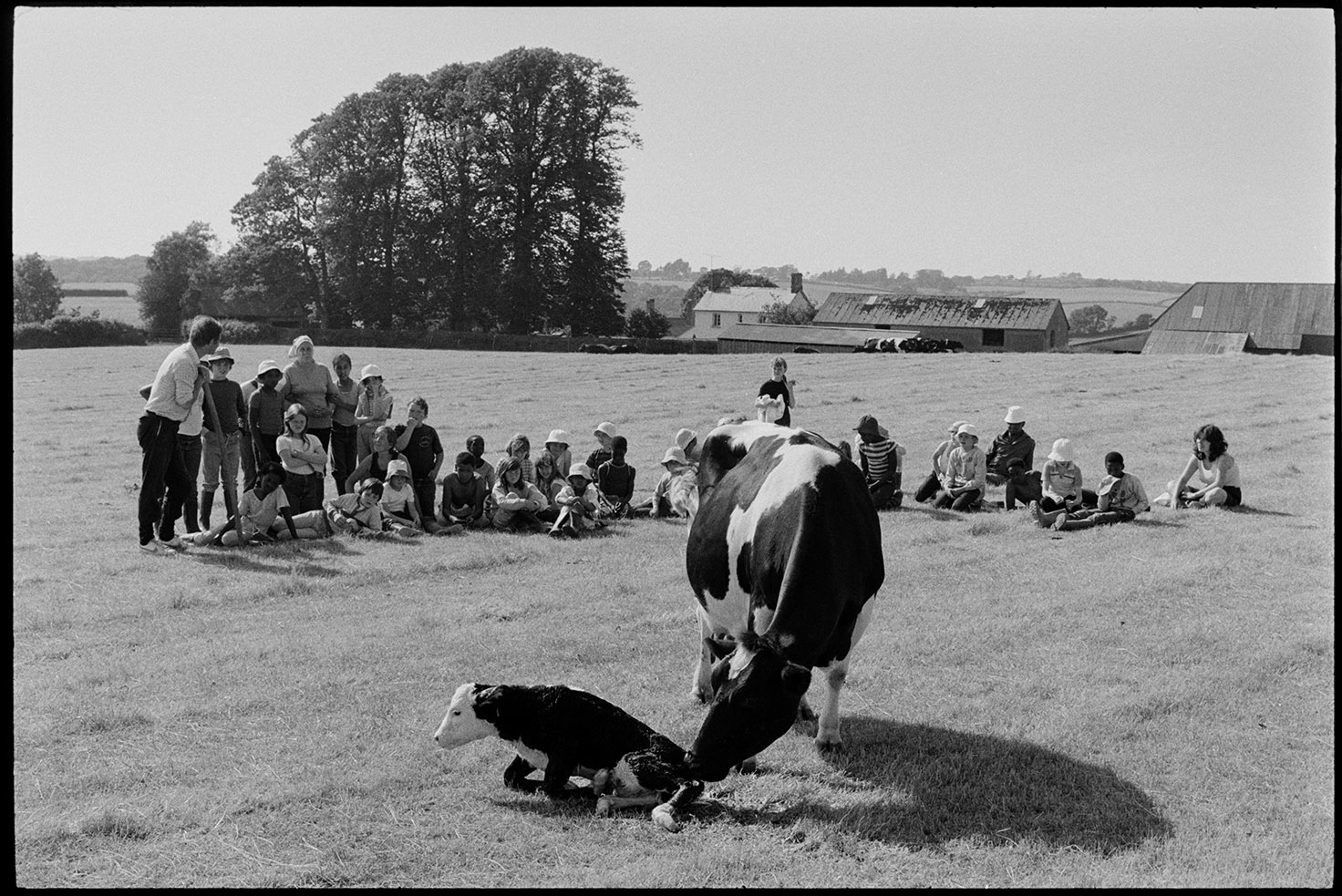 School children watching cow and new born calf in a field, Farms for City Children. Iddesleigh, Parsonage, August 1984. Documentary photograph by James Ravilious for the Beaford Archive © Beaford Arts