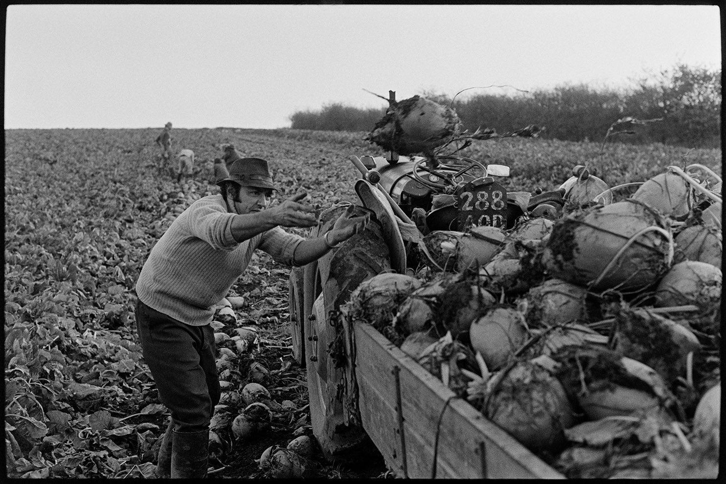 Man cutting beet and loading on trailer, Roborough, October 1975. Documentary photograph by James Ravilious for the Beaford Archive © Beaford Arts