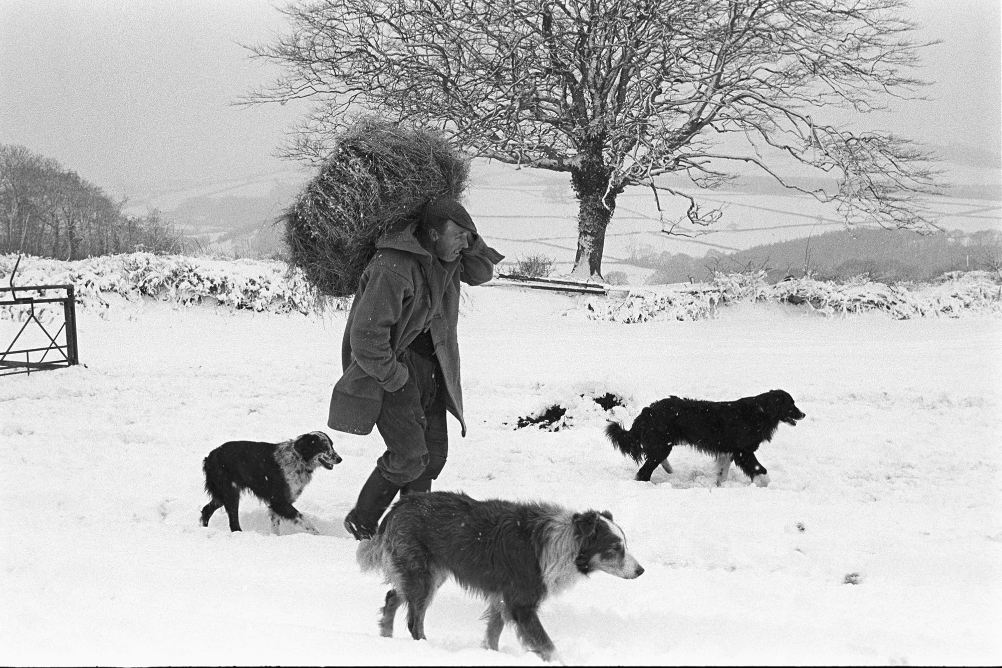 George Ayre with hay for sheep, Ashwell, Dolton, February 1978