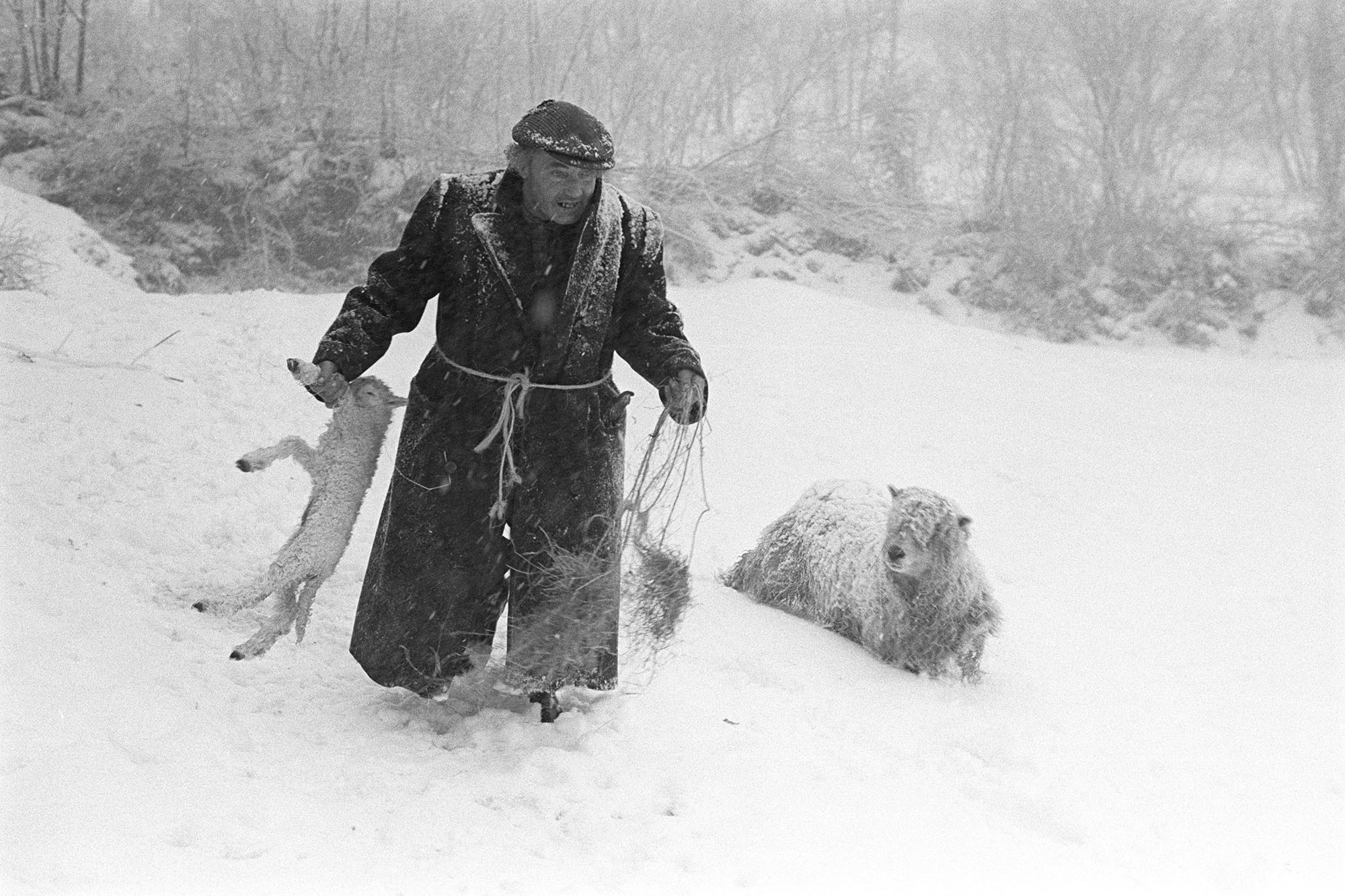 Ivor Brock rescuing a lamb in a blizzard, Millhams, Dolton, February 1978