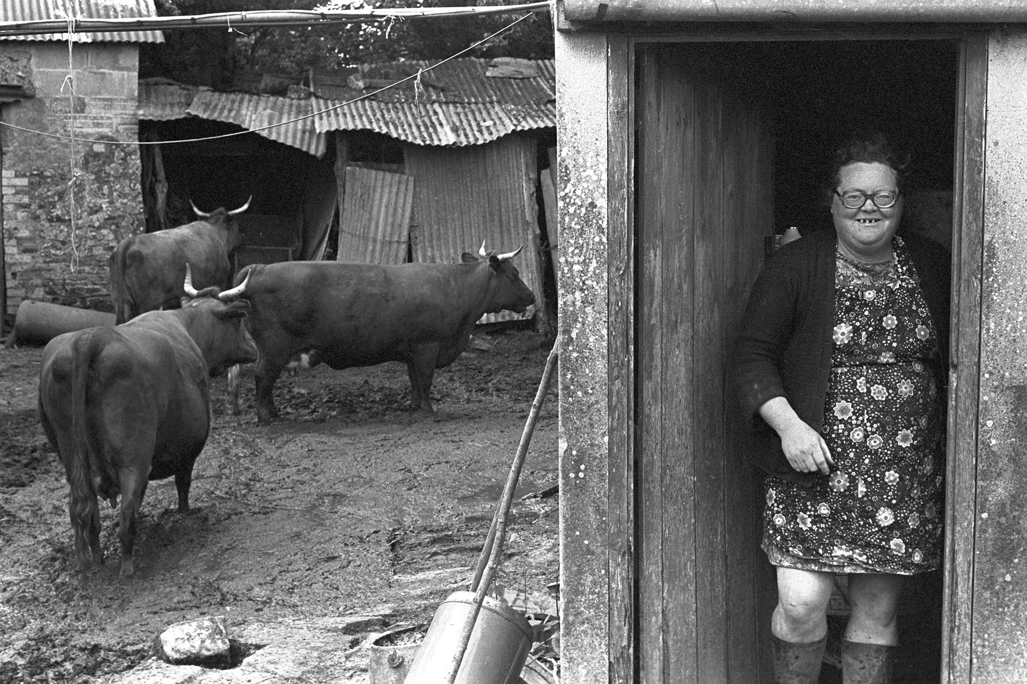 Olive Bennett with her Red Devon Cows, Cupper's Piece, Cuppers Piece, Beaford, June 1979