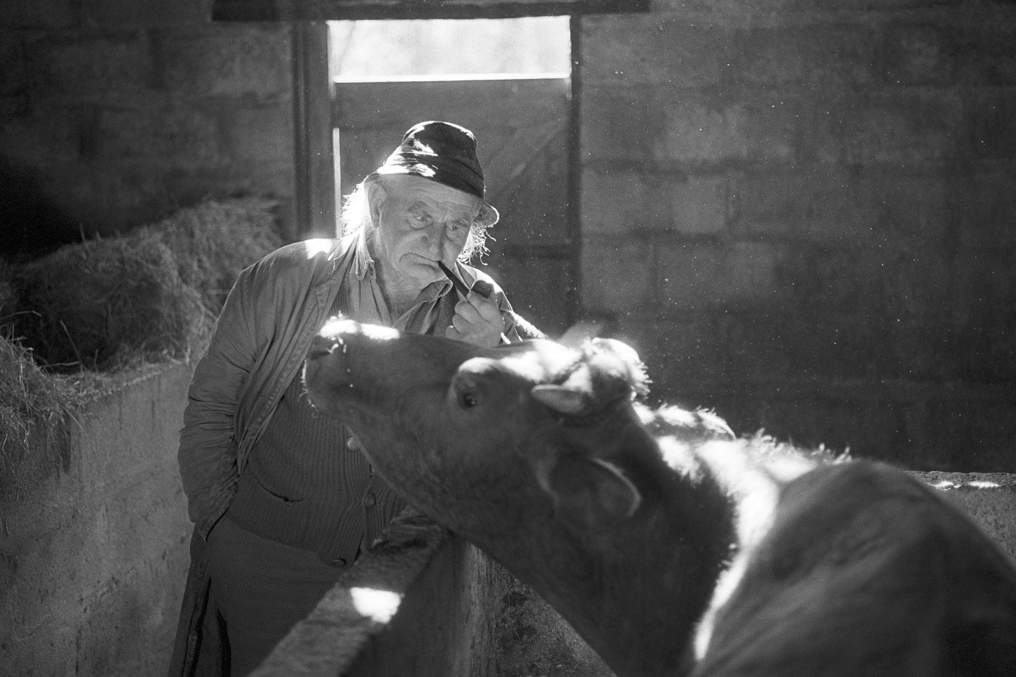 Archie Parkhouse and his cow, Millhams, Dolton, March 1980