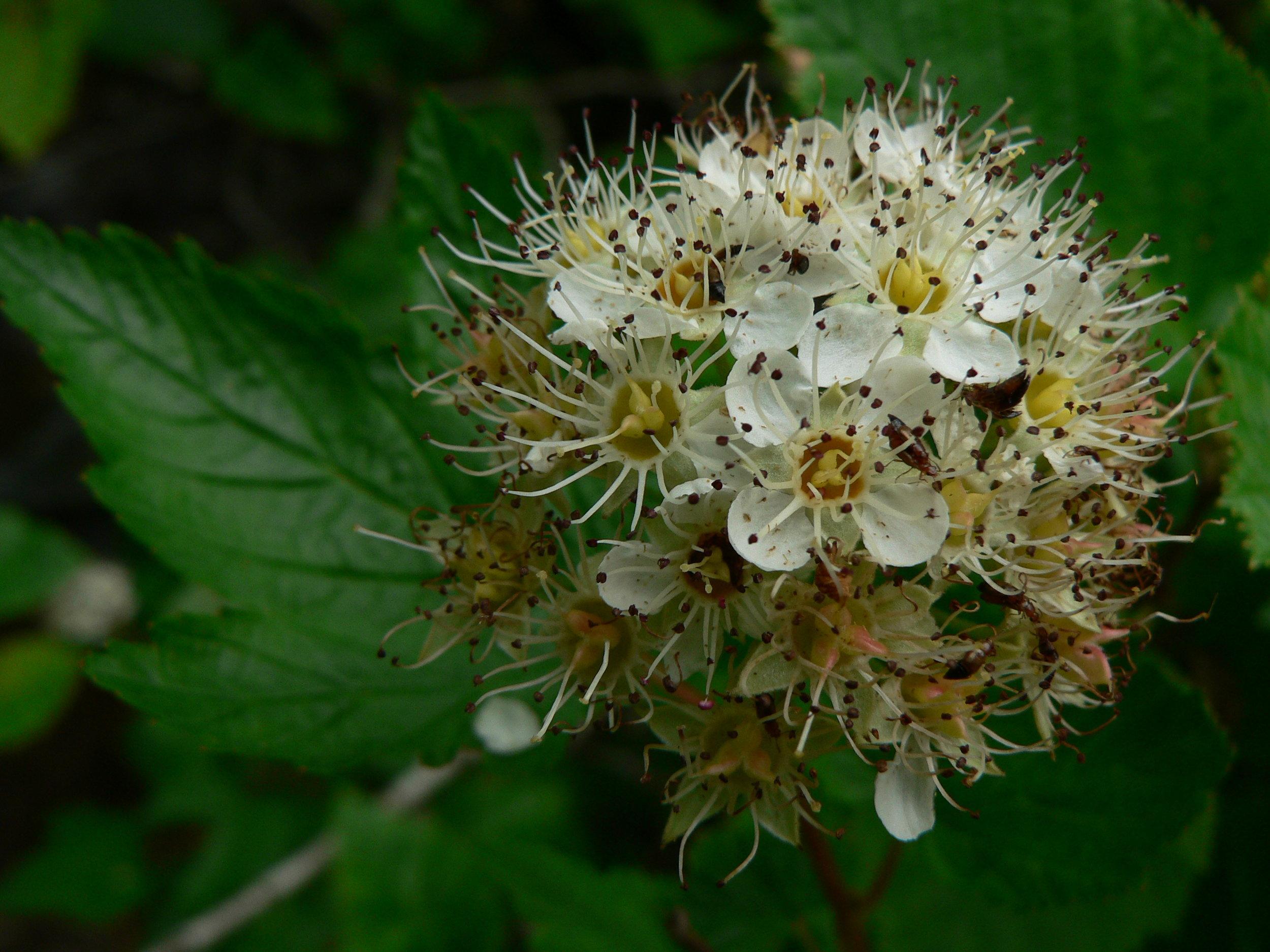 Physocarpus_capitatus_18344.JPG
