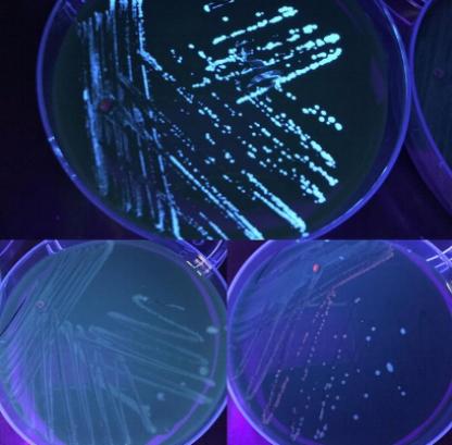 Autoflourescence of Legionella - Kara Levinson