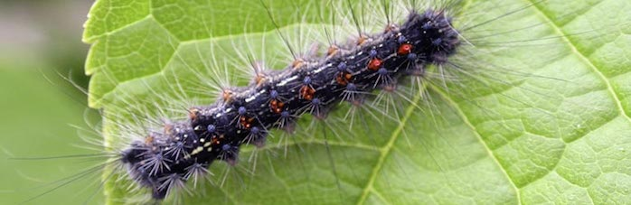Gypsy Moth caterpillar. Image source: bugwood.org
