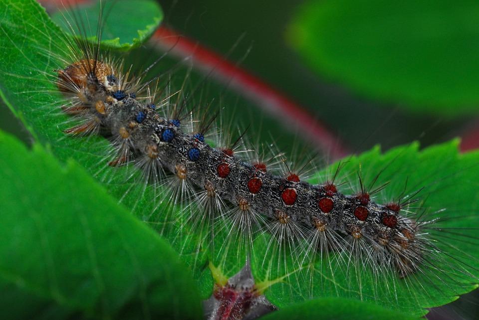 gypsy-moth-960562_960_720.jpg