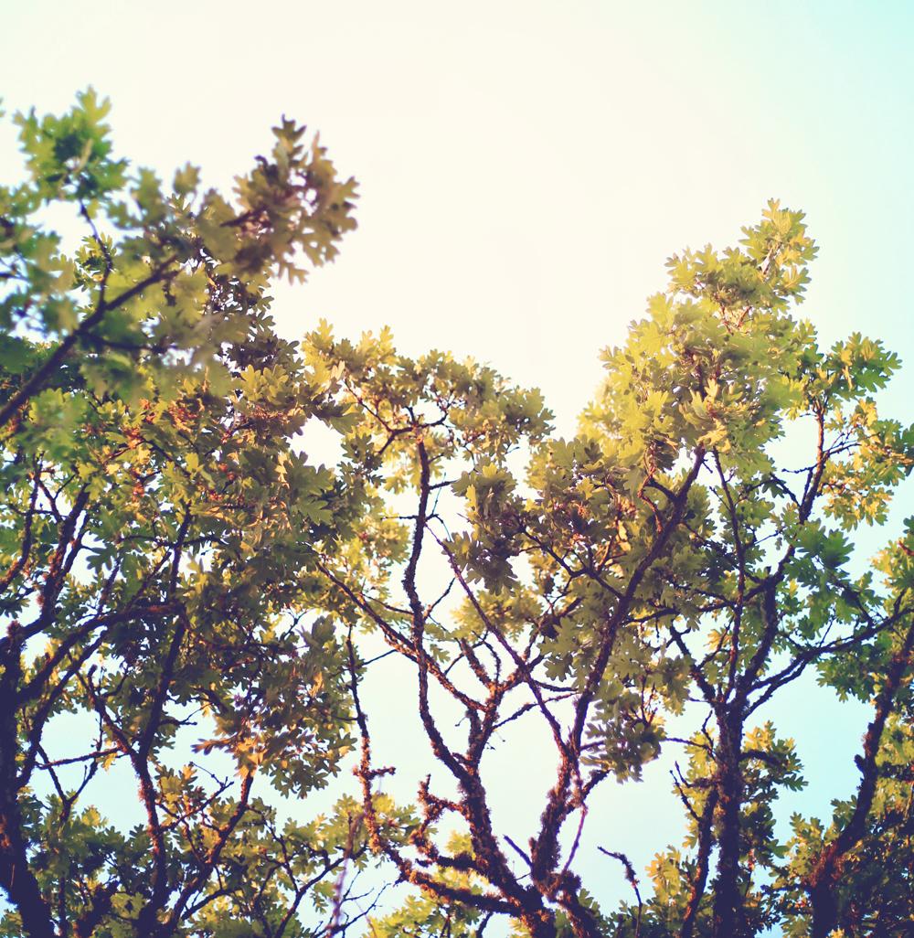 oak-tree-cape-cod.jpg