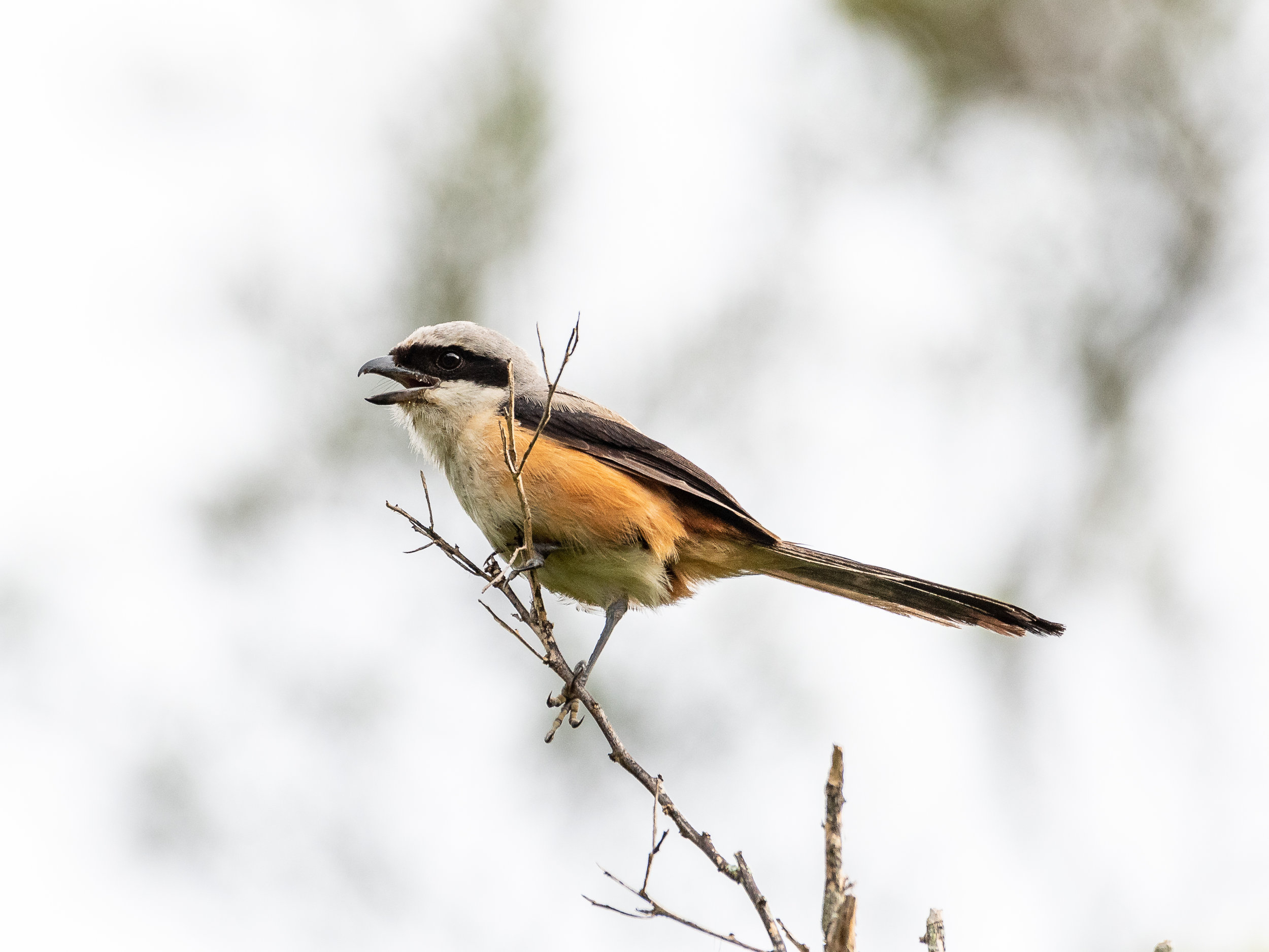 Rufous-Backed Shrike