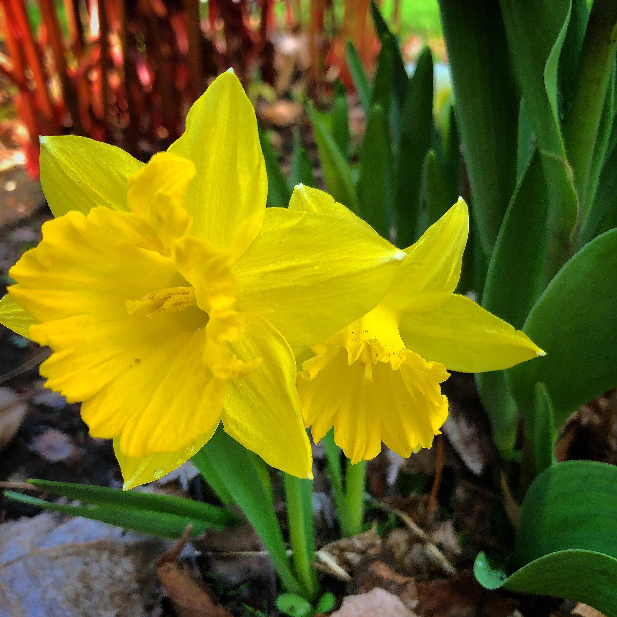 Gorgeous daffodils!