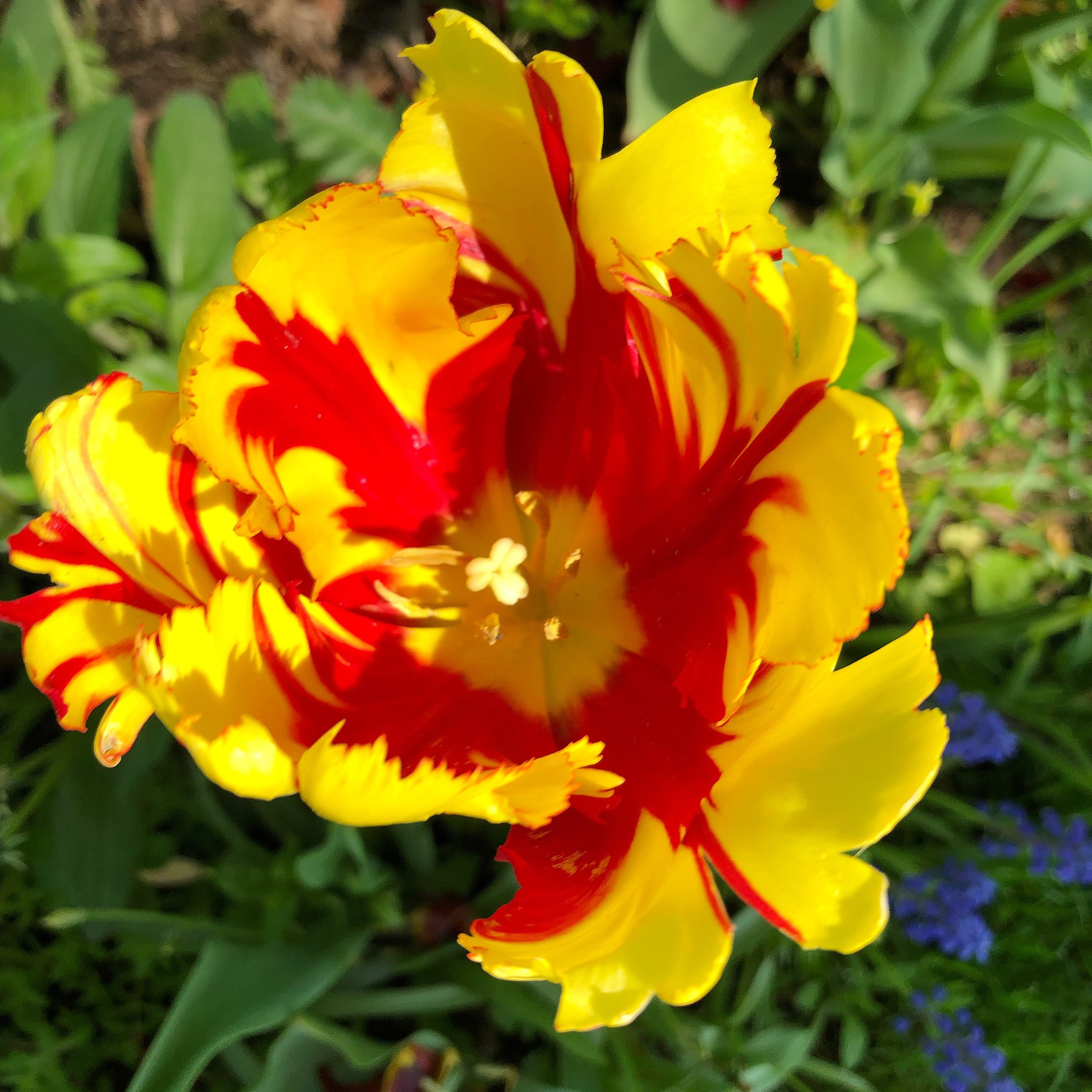 Ronald McDonald parrot tulips are where its at!