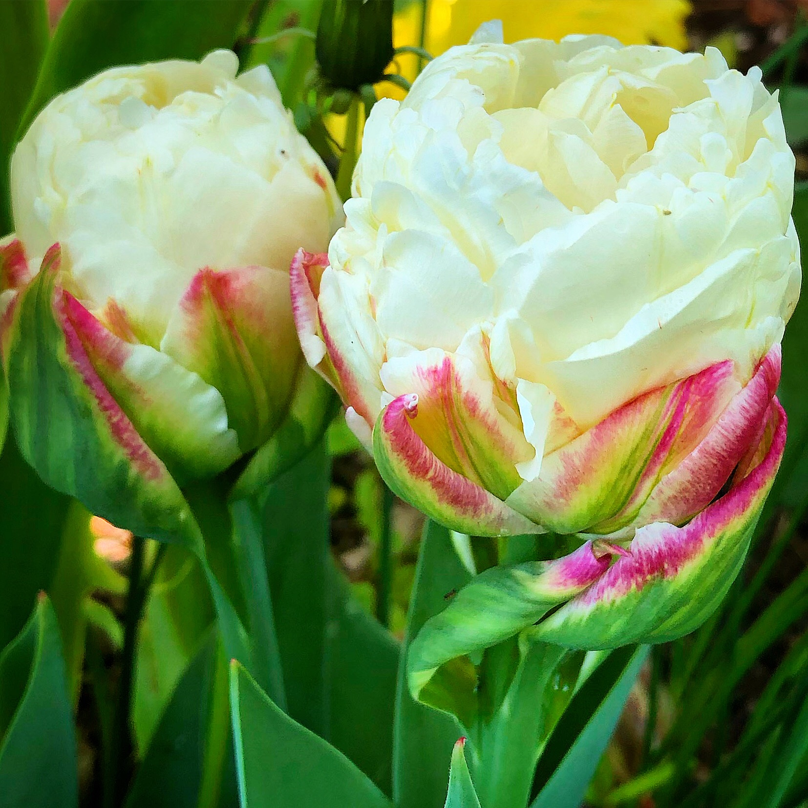 Ice Cream tulip perfection! Bulbs from Spring Hill Nursery.