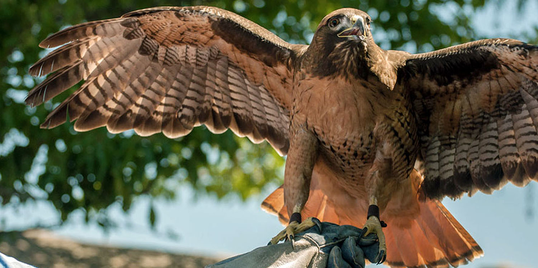 Poppy, Red-tailed Hawk (photo by Bob Alwit)