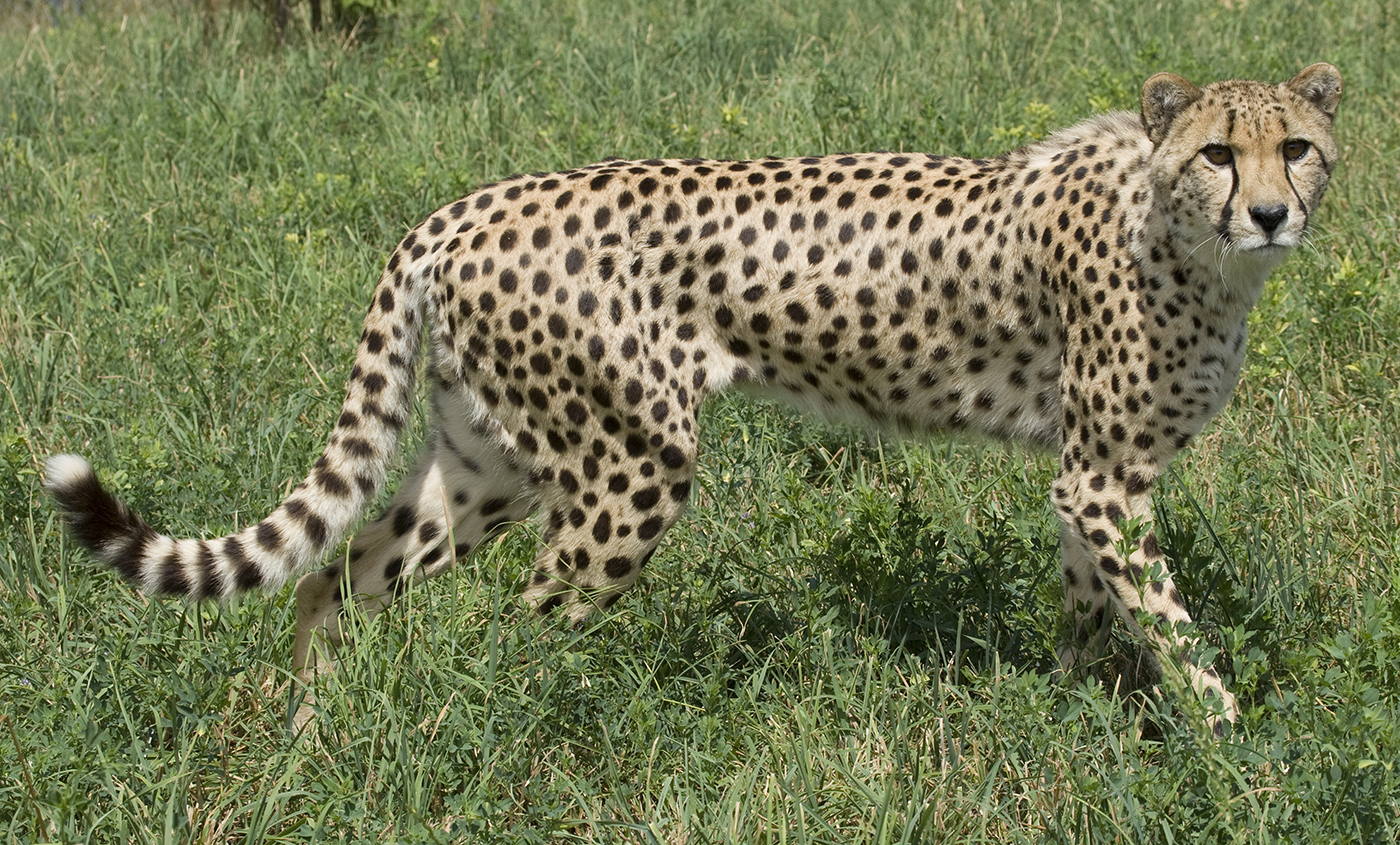 cheetah-004.jpg
