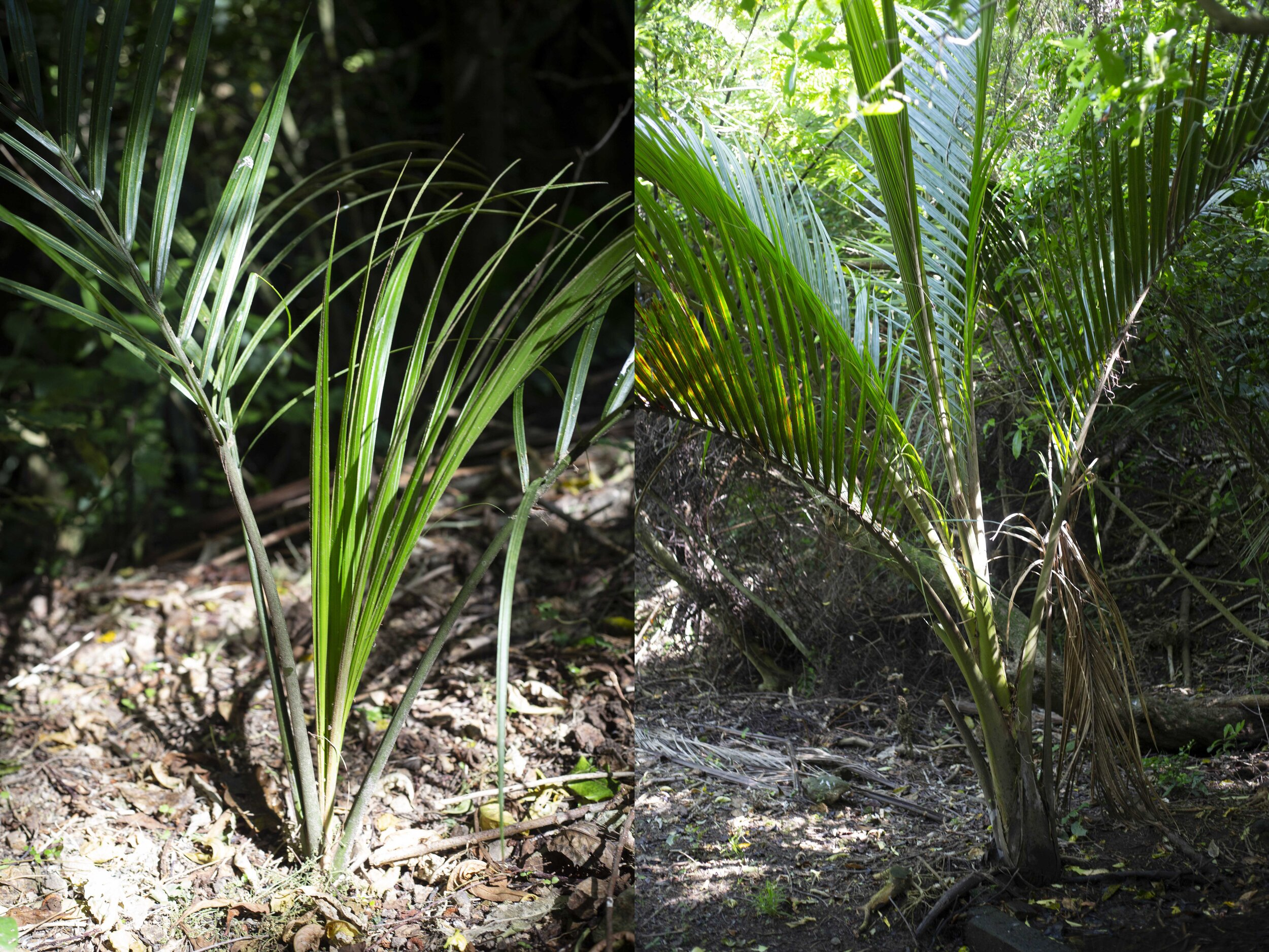 Baby nikau and a nikau that was planted by Ross which lives next to the stream.