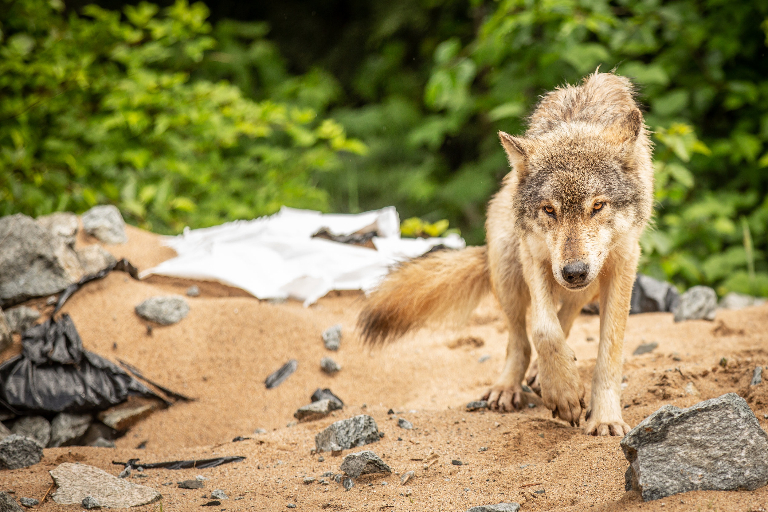 A costal wolf maneuvers her way around a plastic infested beach.