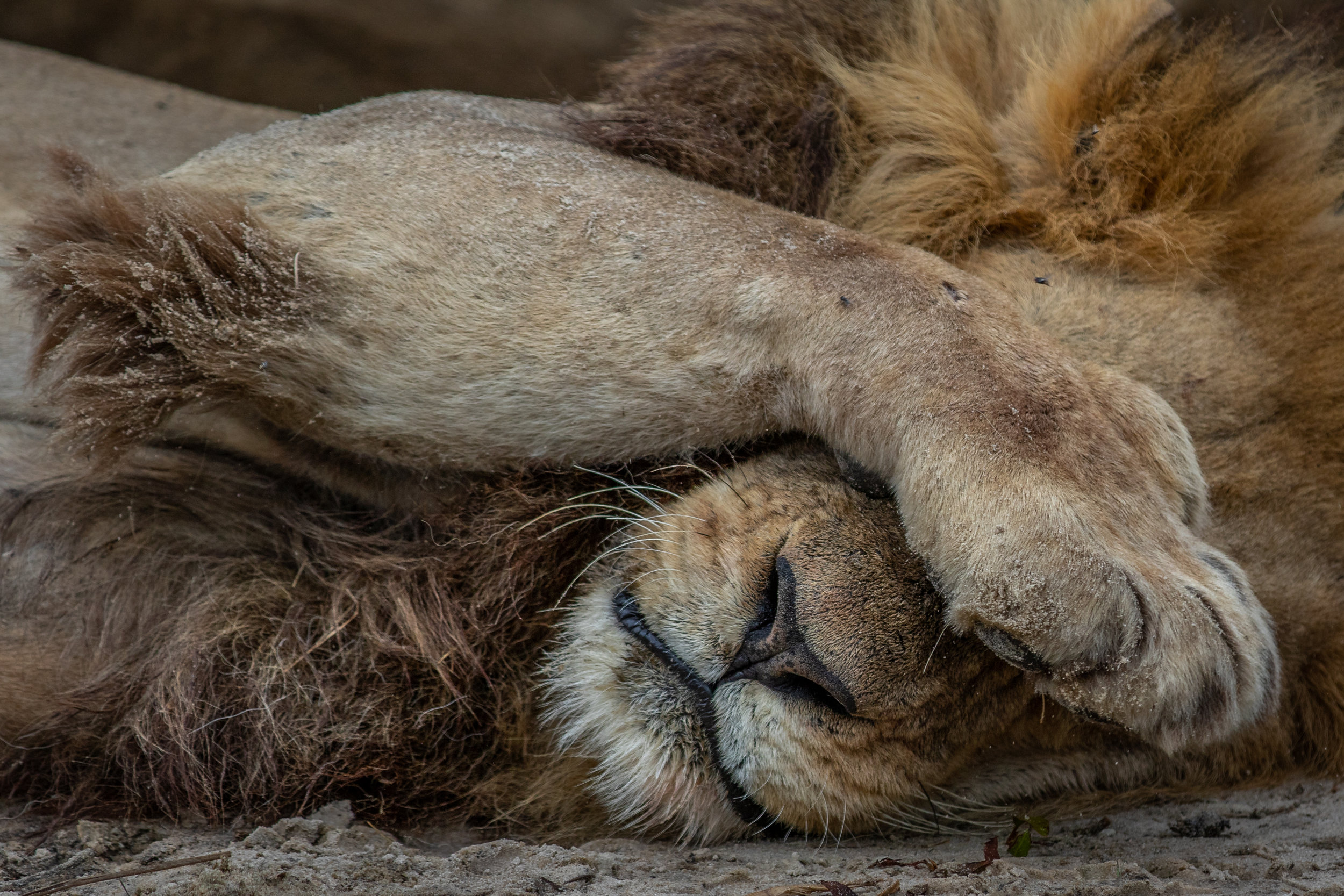 'Sleepy King' Botswana