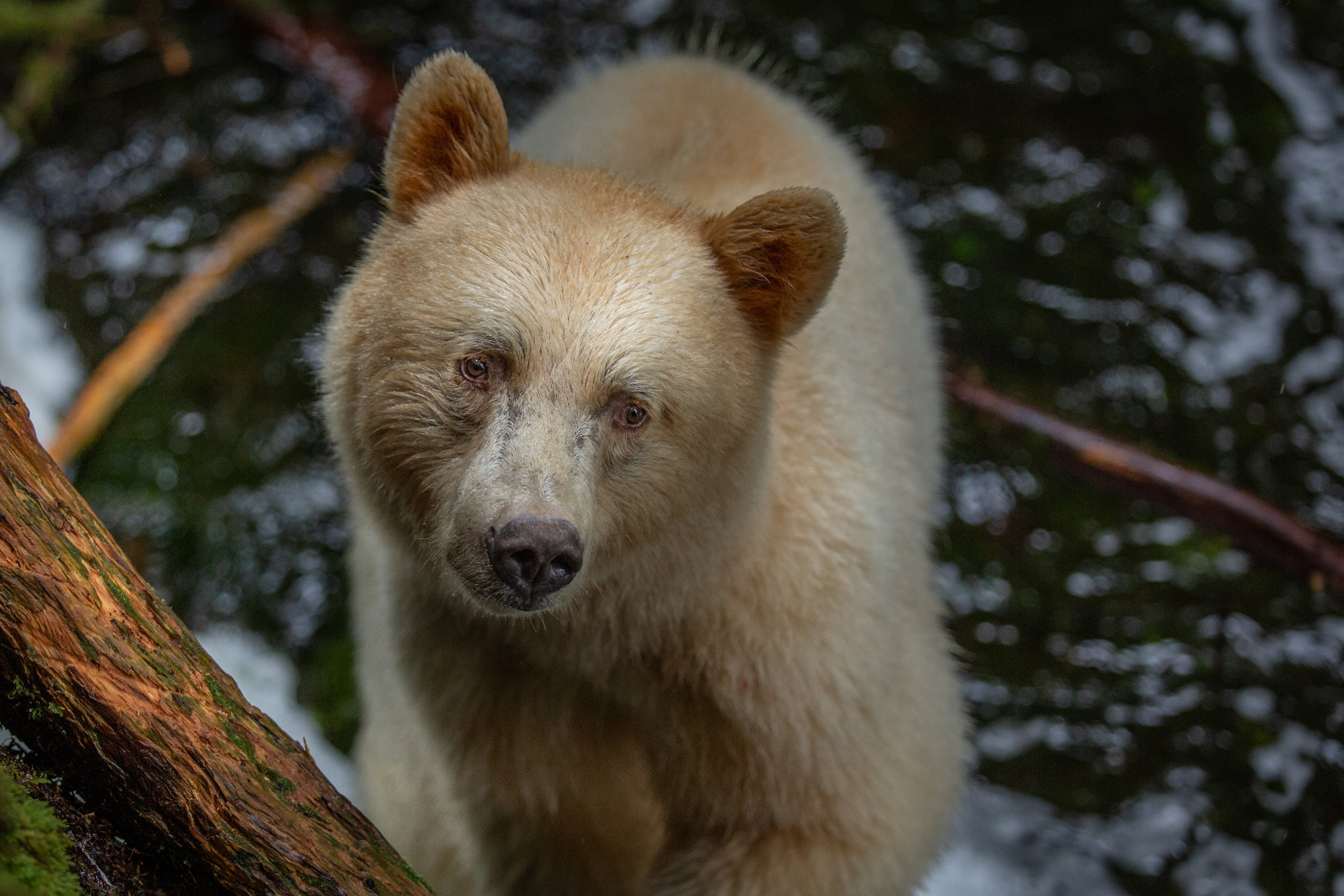 The most intense, yet precious bear encounter I've ever had. Subscribe to Wild Stories hear the full story.