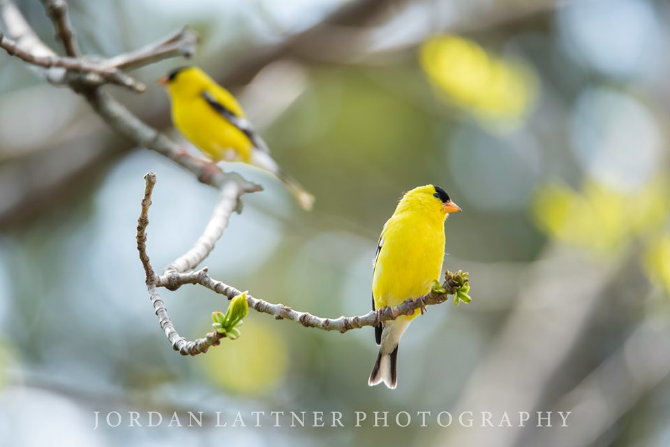 goldfinches on ash tree branch