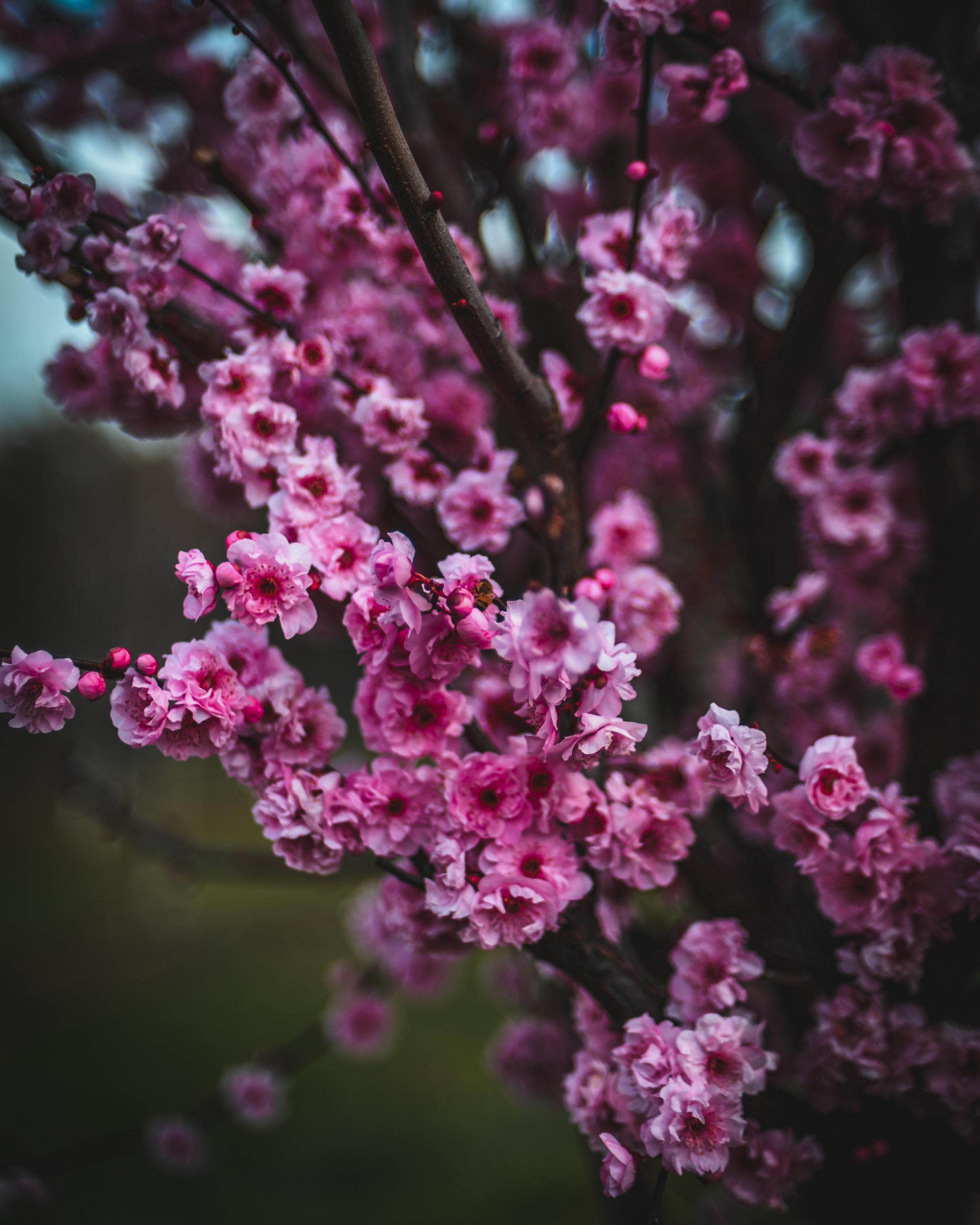 20190821_PrunusXBlireana_OR_BD-03.jpg