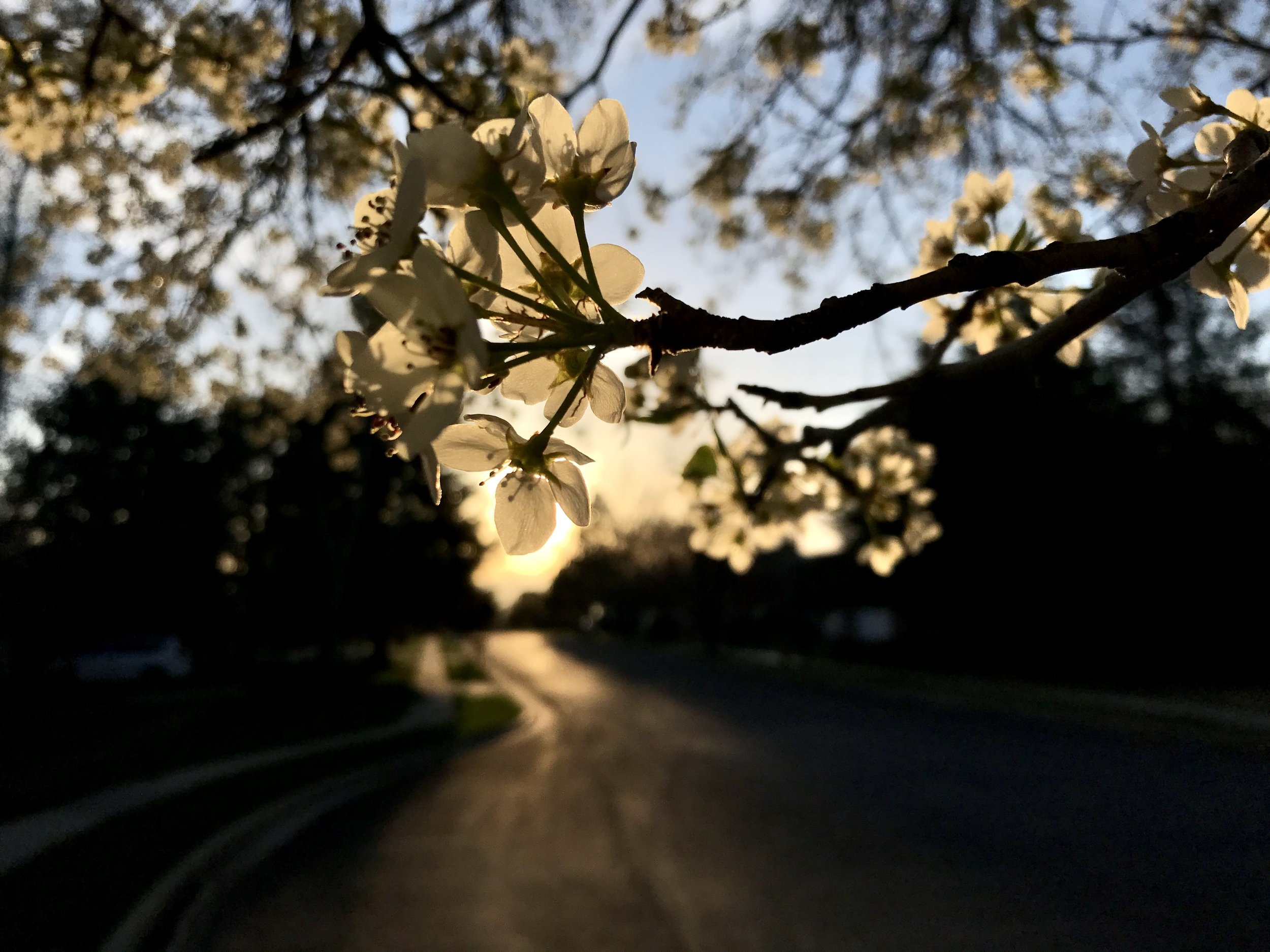 Tree blossoms in the spring