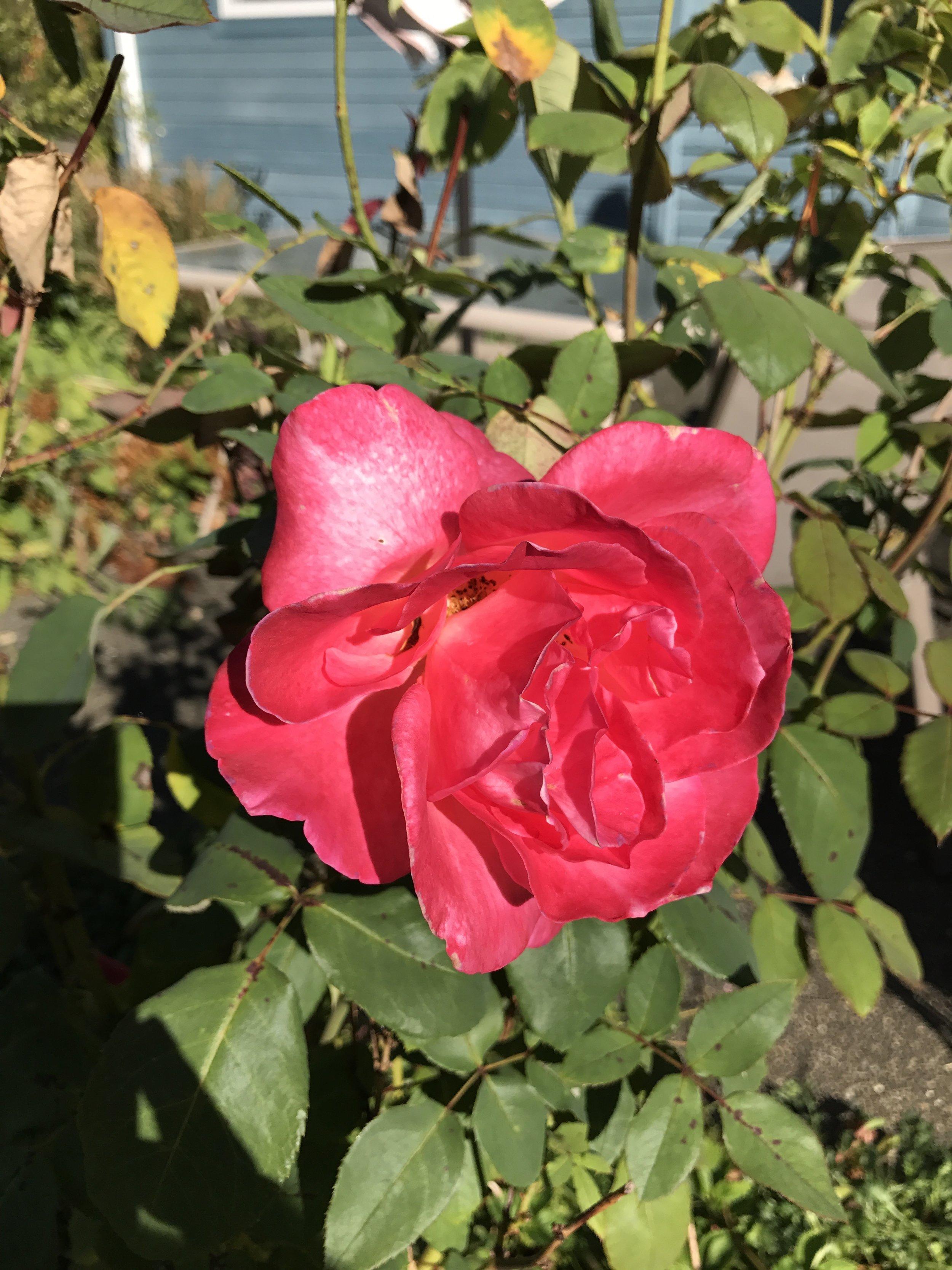 BC rose.jpg