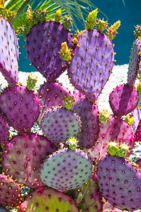 jungalow purple cacti.jpg