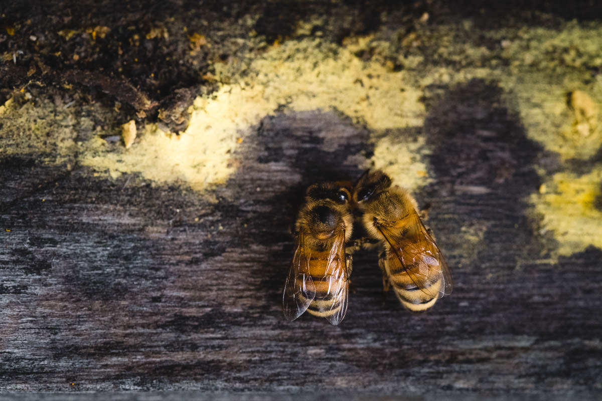 "Two worker bees pause on the pollen-dusted lip of the hive box, possibly to clean each other off after a successful deposit. Each worker can carry close to its own weight in pollen (in pockets on its back legs) or nectar (in a special ""honey stomach""). After dropping off its payload, the bee will clean off any extra pollen grains before heading out again."
